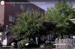 درخت عجیبی که همزمان چهل نوع میوه تولید میکند
